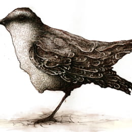 Chalk-browed Mockingbird Illustration